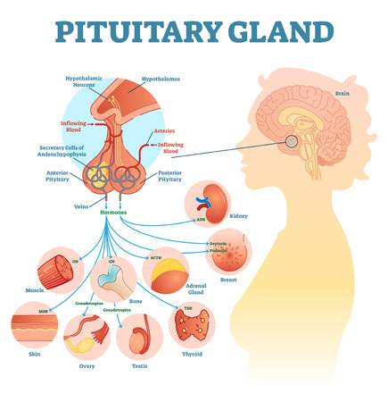 Pituitary gland anatomical vector illustration diagram, educational medical scheme with brain and hormone types.