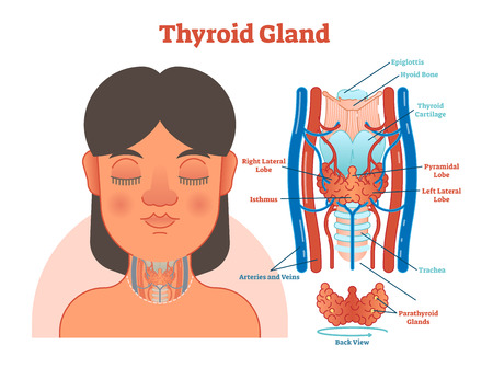 Thyroid Gland anatomical vector illustration diagram, educational medical scheme with arteries, veins, lobes, cartilage, epiglottis and trachea. Stock Illustratie