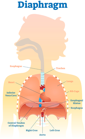 Diaphragm anatomical vector illustration diagram, educational medical scheme with human trachea, esophagus, rib cage and lungs. Vectores