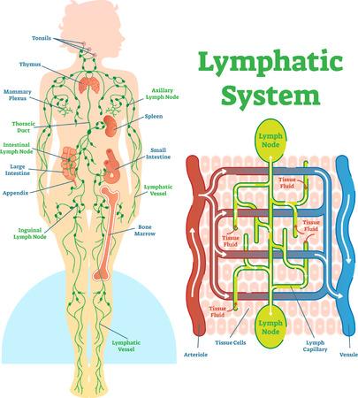 Diagrama de ilustración de vector anatómico del sistema linfático, esquema médico educativo con ganglios linfáticos y flujo de circulación de fluido tisular.