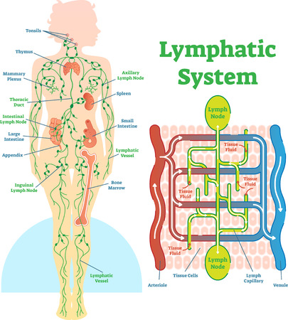 Lymphatic system anatomical vector illustration diagram, educational medical scheme with lymph nodes and tissue fluid circulation flow. Ilustração
