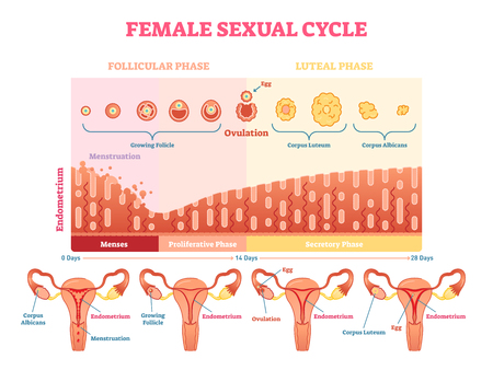 Female cycle vector illustration graphic diagram with menstruation and ovulation chart and uterus visualizations.