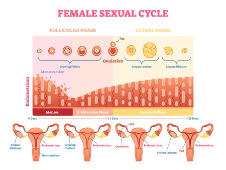 Vrouwelijke seksuele cyclus vector illustratie grafisch diagram met menstruatie en ovulatie grafiek en baarmoeder visualisaties.