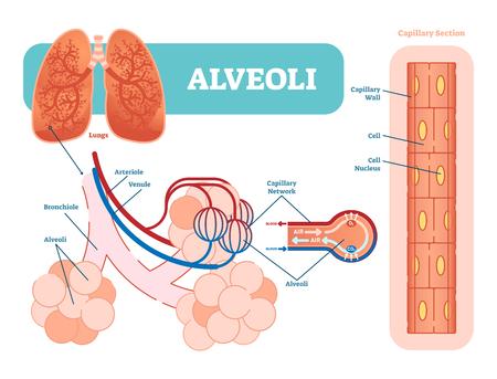 Schematyczny schemat pęcherzyków płucnych, anatomiczny diagram ilustracji wektorowych z siecią naczyń włosowatych. Plakat informacyjny.