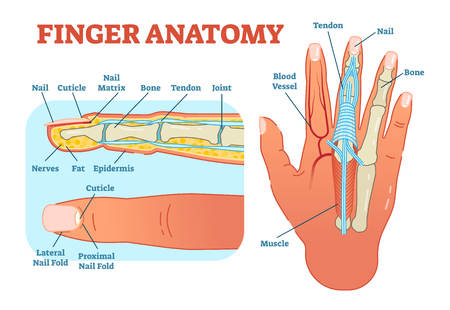 Finger anatomy medical vector illustration with bones, muscle scheme and finger cross section. Educational information.