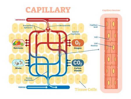 Capillary schematic, anatomical vector illustration diagram with blood flow. Educational information poster. 일러스트