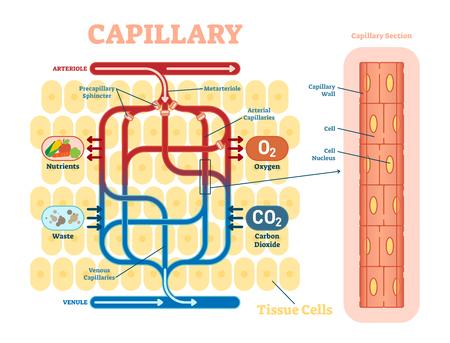 Diagrama esquemático capilar, diagrama de ilustración anatómica del vector con flujo sanguíneo. Cartel informativo educativo. Ilustración de vector