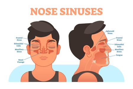 Przekrój anatomiczny ilustracji wektorowych zatok nosa, informacje edukacyjne. Ilustracje wektorowe