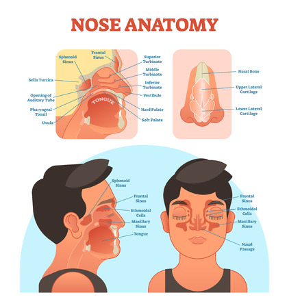Nose anatomy medical vector illustration diagram with nasal cavity, mouth, sinuses and nose cartilage.