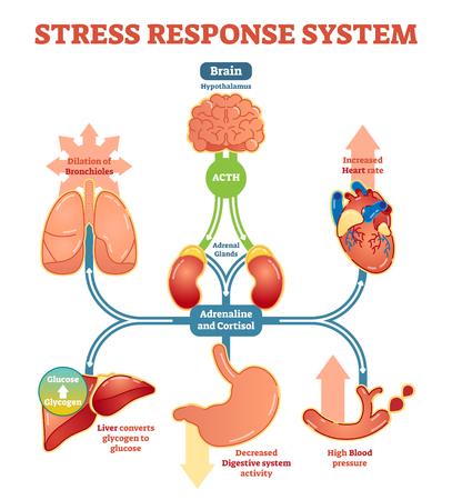 Diagramme d'illustration vectorielle du système de réponse au stress, schéma des impulsions nerveuses. Informations médicales éducatives. Vecteurs