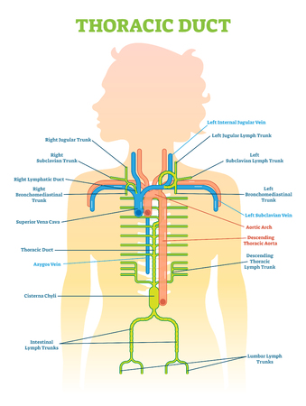 Thoracic Duct anatomical vector illustration diagram, medical scheme. Educational information.