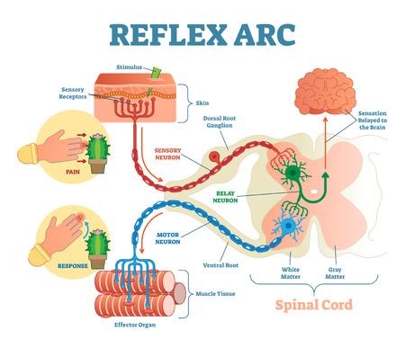 Esquema anatómico del arco reflejo espinal, ilustración vectorial, con médula espinal, vía de estímulo a la neurona sensorial, neurona de transmisión, neurona motora y tejido muscular. Diagrama educativo Ilustración de vector
