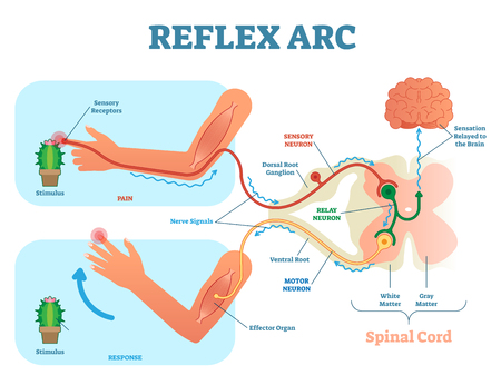 Spinal Reflex Arc anatomical scheme, vector illustration, with spinal cord, stimulus pathway to the sensory neuron, relay neuron, motor neuron and muscle tissue. Educational diagram.