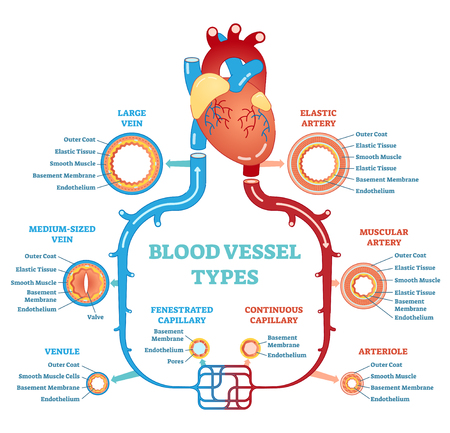 Blood vessel types anatomical diagram vector illustration
