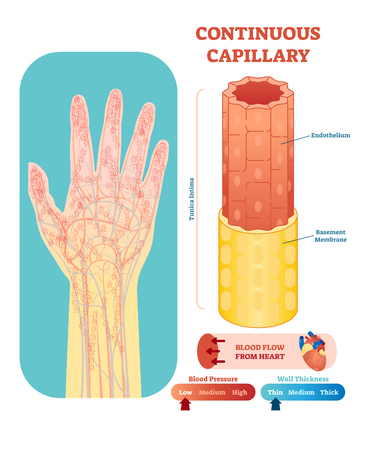 Continuous capillary anatomical vector illustration cross section with tunica intima, endothelium and basement membrane. Circulatory system blood vessel diagram scheme on human hand silhouette. Medical educational information.