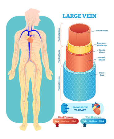 Large vein anatomical vector illustration cross section with tunica externa, media and interna. Circulatory system blood vessel diagram scheme. Medical educational information.