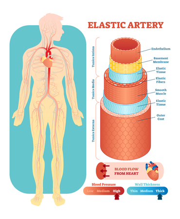 Elastic artery anatomical vector illustration cross section with tunica externa, media and interna. Circulatory system blood vessel diagram scheme. Medical educational information.