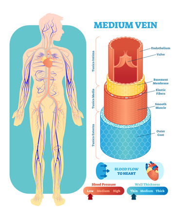 Medium vein anatomical vector illustration cross section with tunica externa, media and interna. Circulatory system blood vessel diagram scheme. Medical educational information.