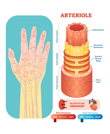 Arteriole anatomical vector illustration cross section with tunica externa, media and interna. Circulatory system blood vessel diagram scheme on human hand silhouette. Medical educational information. Vettoriali