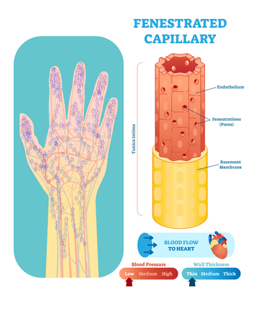 Fenestrated capillary anatomical vector illustration cross section with tunica intima, endothelium and basement membrane. Circulatory system blood vessel diagram scheme on human hand silhouette. Vector Illustration