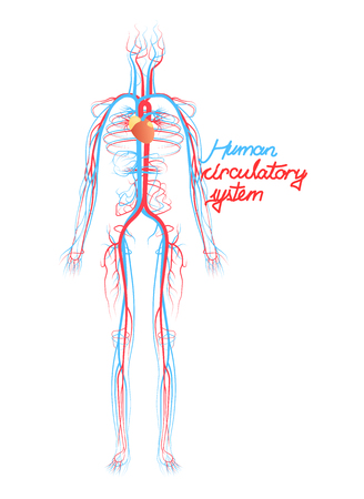 Conceptual Human Blood Circulatory System. Blood Vessels Scheme with Arteries and Veins. Illustration