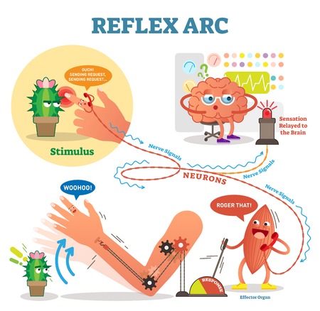 Spinal reflex arc scheme, vector illustration with stimulus pathway through the nerve signals and effect or organ muscle response. Educational diagram with fun cartoon characters.