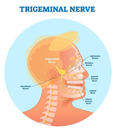 Trigeminuszenuw anatomisch vectorillustratiediagram met menselijke hoofddwarsdoorsnede. Medisch zenuwstelsel.