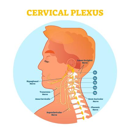 Cervical Plexus anatomical nerve diagram, vector illustration