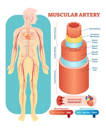 Muscular artery anatomical vector illustration