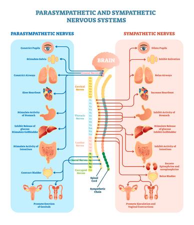 Diagrama de ilustración médica del sistema nervioso humano con nervios parasimpáticos y simpáticos y todos los órganos internos conectados a través del cerebro y la médula espinal. Guía educativa de información completa.