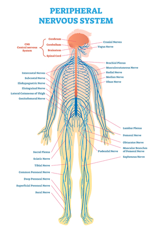 Peripheral nervous system, medical vector illustration diagram with brain, spinal cord and full body nerve scheme. Иллюстрация