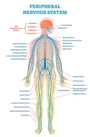 Sistema nervioso periférico, diagrama de ilustración vectorial médica con cerebro, médula espinal y esquema de nervio de cuerpo completo. Ilustración de vector