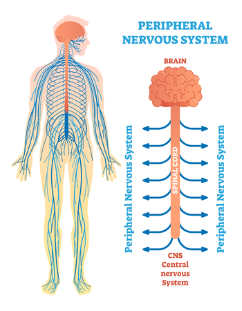 Peripheral nervous system, medical vector illustration diagram with brain, spinal cord and nerves. Educational scheme poster. Stock Illustratie