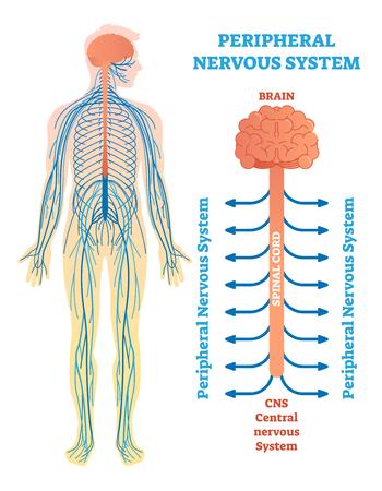 Sistema nervioso periférico, diagrama de ilustración médica del vector con cerebro, médula espinal y nervios. Cartel de esquema educativo.