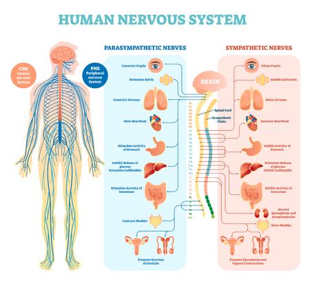 Diagrama de ilustración médica del sistema nervioso humano con nervios parasimpáticos y simpáticos y todos los órganos internos conectados a través del cerebro y la médula espinal. Guía educativa de información completa. Ilustración de vector