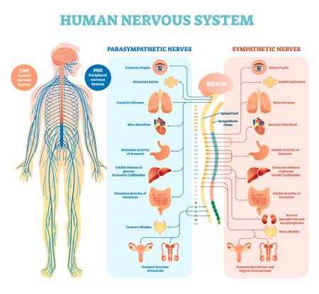Human nervous system medical vector illustration diagram with parasympathetic, sympathetic nerves and all connected inner organs through brain and spinal cord. Educational information complete guide.