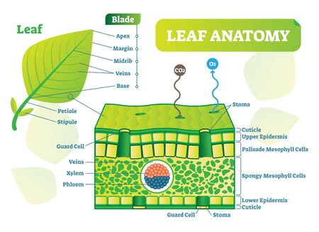 Leaf anatomy vector illustration diagram. Biological macro scheme poster with leaf inner layers, veins and breathing oxygen exchange.