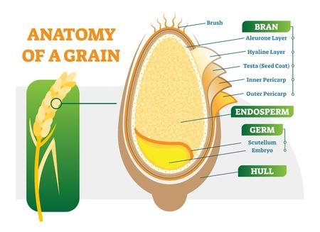 Diagrama de ilustración de vector de capas anatómicas de grano con salvado, endospermo, germen y casco. Cartel de ciencias biológicas. Ilustración de vector