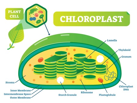 Plant Chloroplast chemical biology vector illustration cross section diagram with membrane, stroma, lamella and other parts. Botanic information scheme poster.