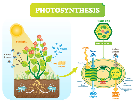 Photosynthesis biological vector illustration diagram with plan cell chloroplast kelvin cycle scheme. Conversion of light, water, carbon dioxide, oxygen and sugars. 일러스트