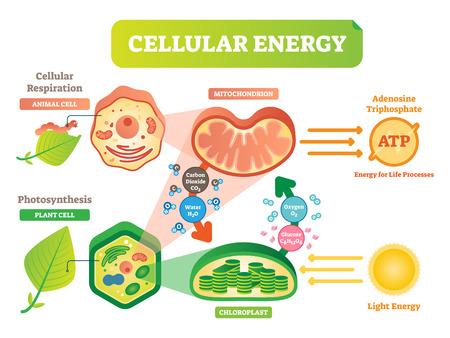 Diagrama de ilustración de vector de ciclo de energía celular de animales y plantas con interacción mitocondrial y cloroplasto.