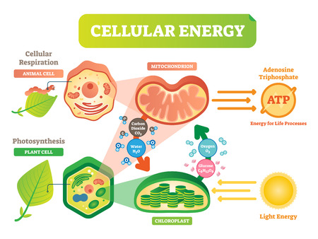 Animal and plant cell energy cycle vector illustration diagram with mitochondrion and chloroplast interaction.