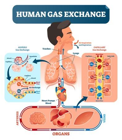 Ilustracja wektorowa systemu wymiany gazu ludzkiego. Tlen przemieszcza się z płuc do serca, do wszystkich komórek ciała iz powrotem do płuc jako CO2. Czerwone krwinki transportujące tlen z naczyń włosowatych pęcherzyków płucnych do wszystkich narządów.