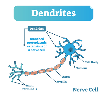 Dendrite biological anatomy vector illustration diagram with nerve cell structure. Health care education poster.