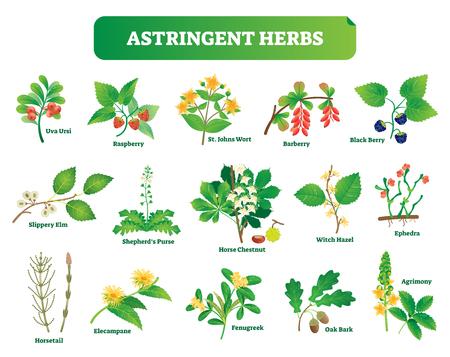 Colección de ilustraciones vectoriales de hierbas astringentes. Conjunto botánico de plantas silvestres de homeopatía natural. Salud y naturaleza.