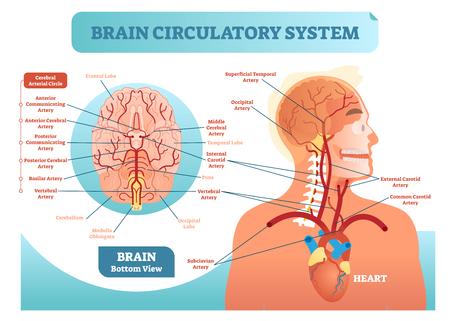Anatomisches Vektor-Illustrationsdiagramm des Gehirnzirkulationssystems. Netzwerkschema für Blutgefäße des menschlichen Gehirns. Anatomisches Vektor-Illustrationsdiagramm des Gehirnzirkulationssystems. Netzwerkschema für Blutgefäße des menschlichen Gehirns. Blutkreislauf vom Herzen zum Gehirn.