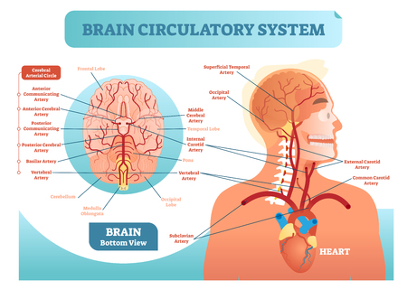 Brain circulatory system anatomical vector illustration diagram. Human brain blood vessel network scheme. Brain circulatory system anatomical vector illustration diagram. Human brain blood vessel network scheme. Blood cycle from heart to brains.