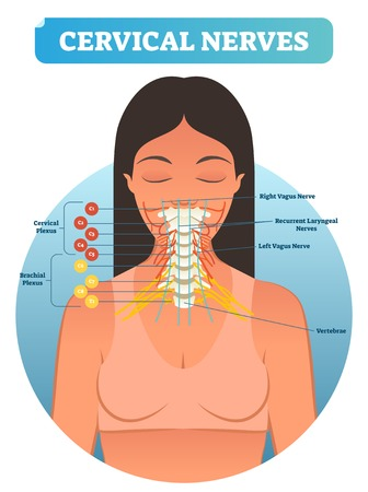 Cervical nerves medical anatomy diagram vector illustration. Human neurological network scheme in neck region. Health care educational poster. Banque d'images - 100657864