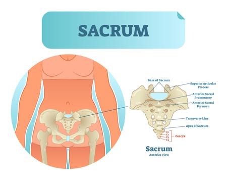 Human Sacrum Bone Structure Diagram Anatomical Vector Illustration
