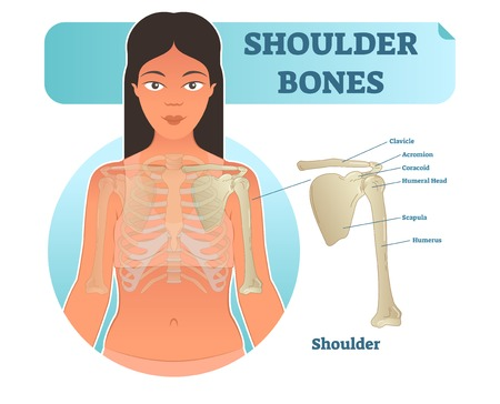 Labeled human shoulder bone anatomical vector illustration diagram poster. Medical health care information.